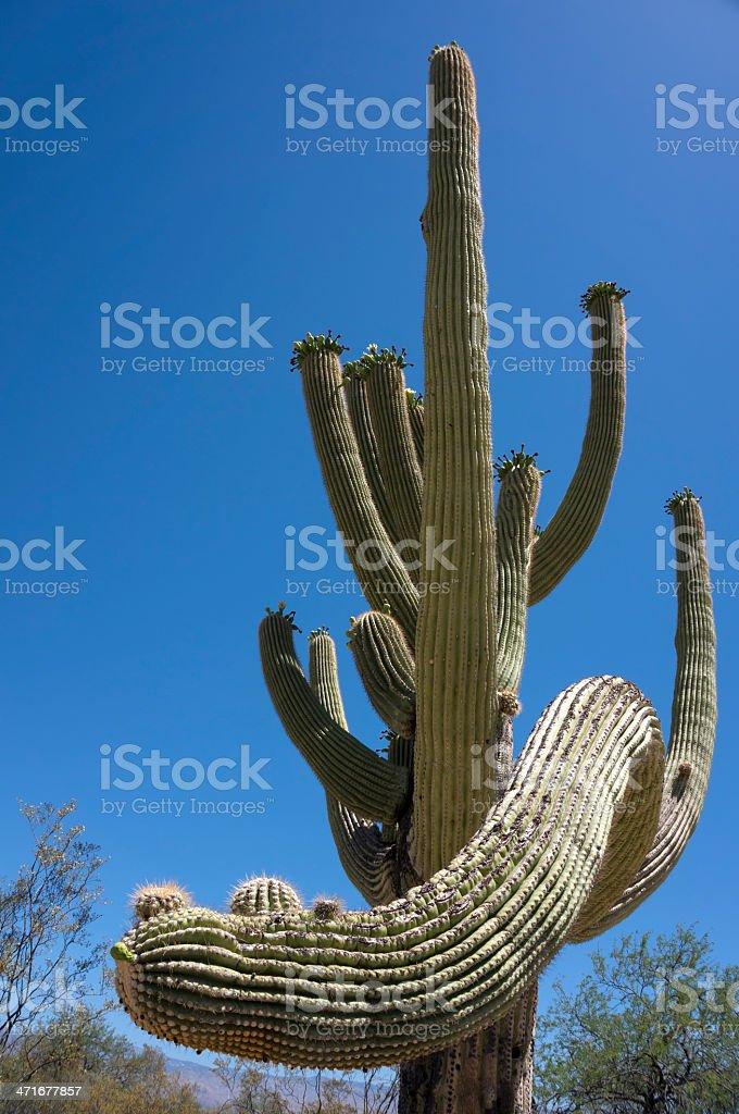 Saguaro stock photo