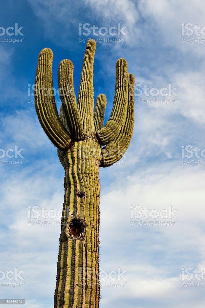 Saguaro royalty-free stock photo