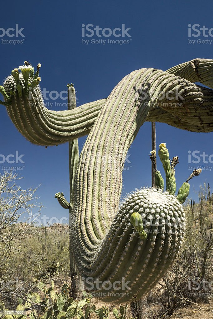 Saguaro Serpent royalty-free stock photo