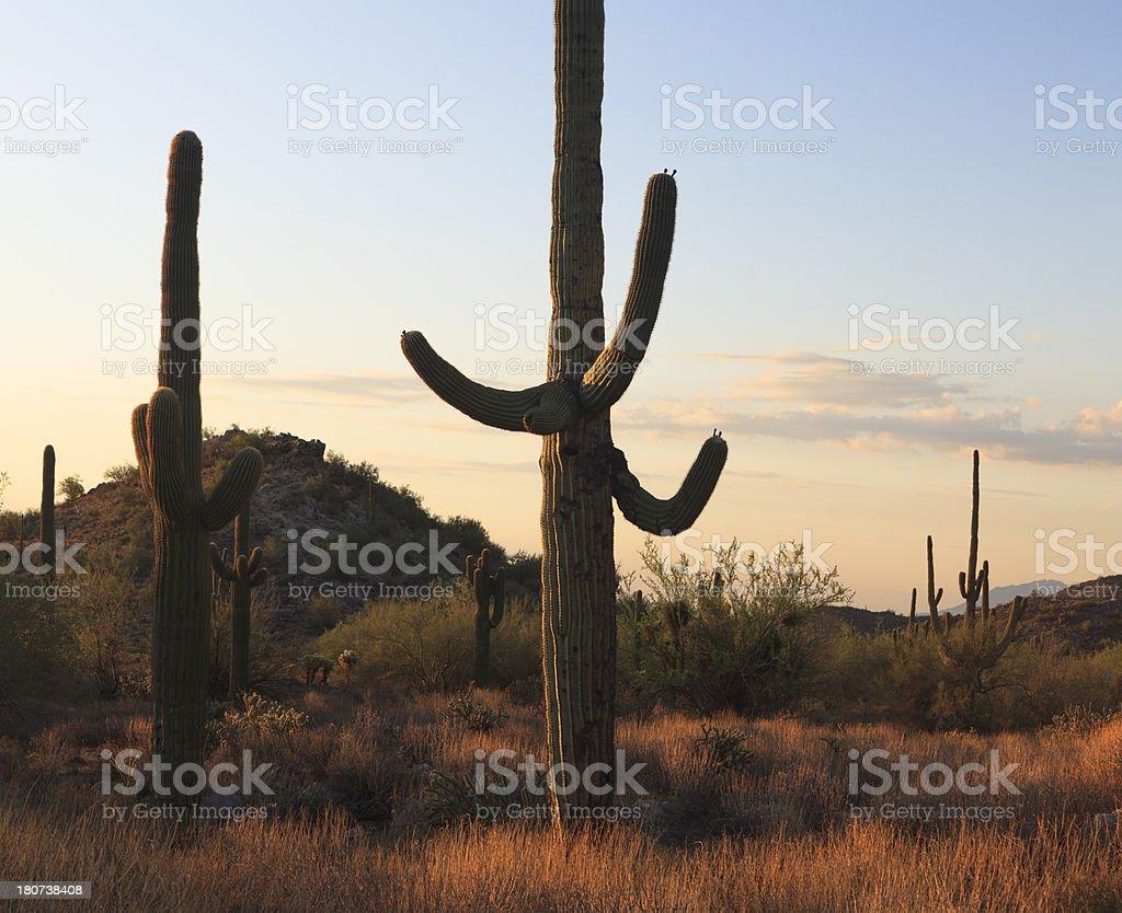 Saguaro Sunrise royalty-free stock photo