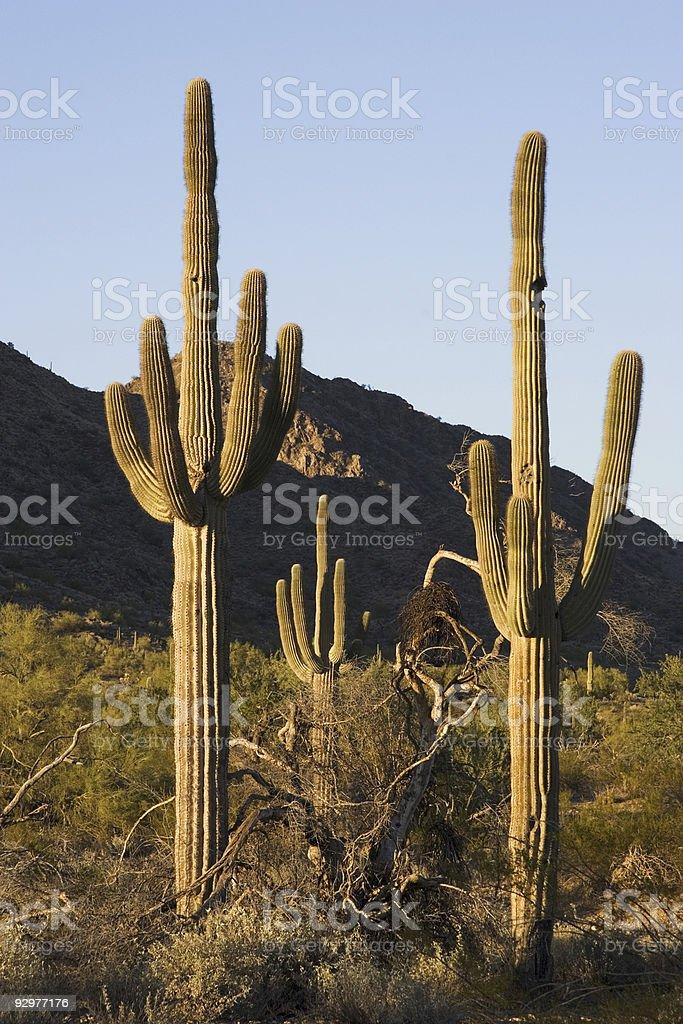 Saguaro Sunset royalty-free stock photo