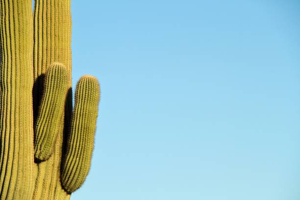 Saguaro with Blue Copy Space stock photo