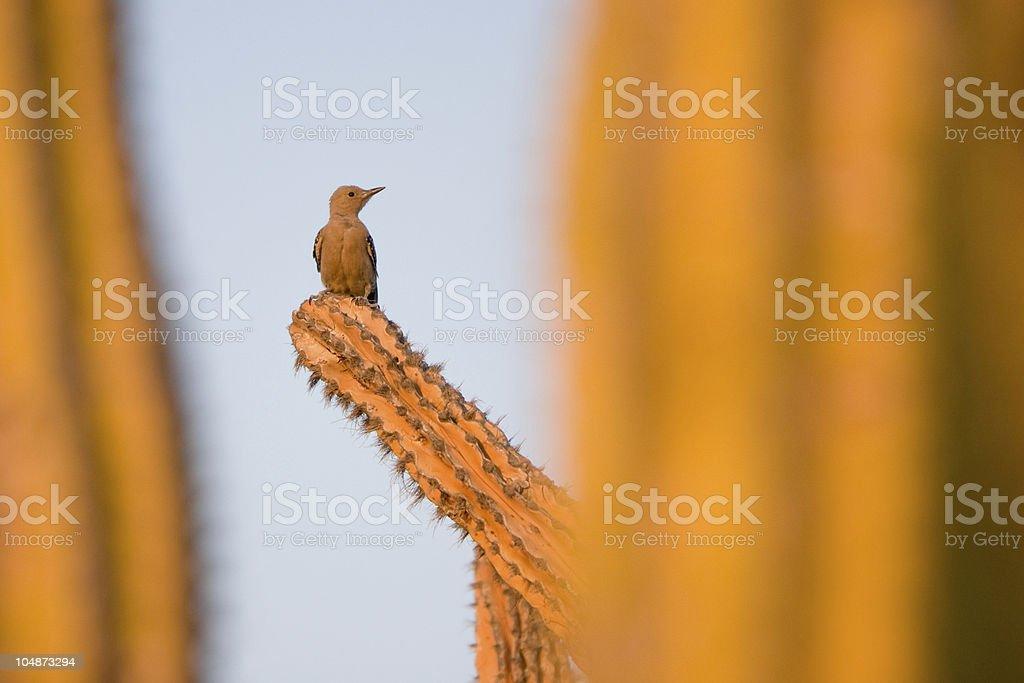 Saguaro Woodpecker royalty-free stock photo