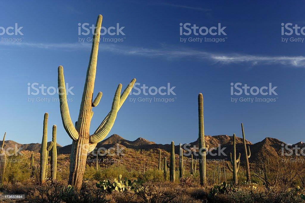 Saguaros at Sunset royalty-free stock photo