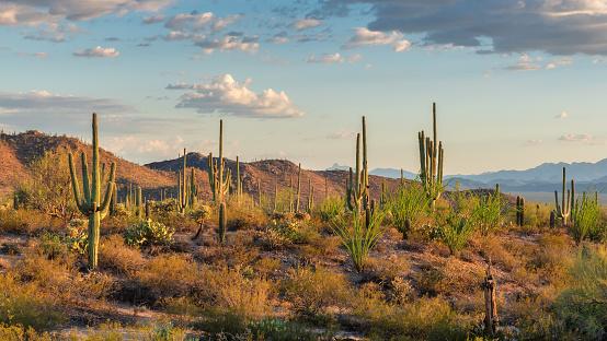 Saguaros cactus at sunset in Sonoran Desert near Phoenix, Arizona.