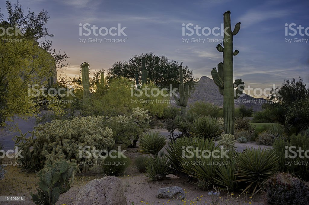 Saguaro's Watching Over royalty-free stock photo