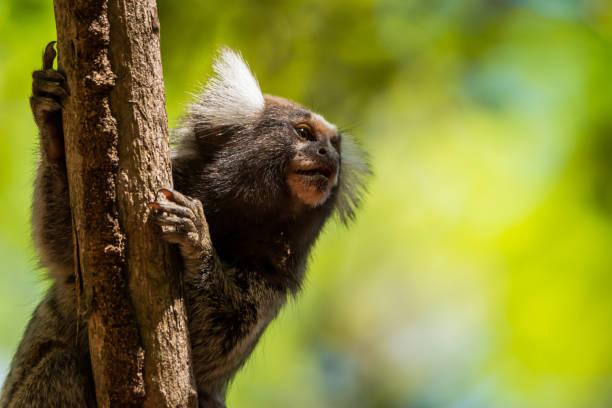 Sagui de tufos brancos na floresta Sagui em fundo desfocado, floresta, garra, unhas common marmoset stock pictures, royalty-free photos & images