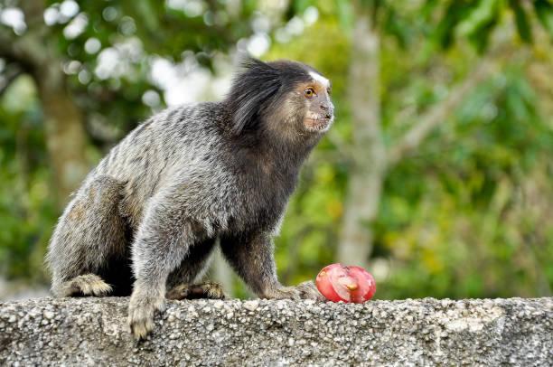 Sagui Monkey eating and staring stock photo