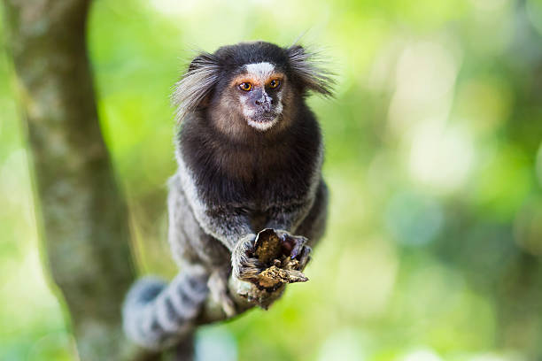Sagui Monkey in the Wild in Rio de Janeiro, Brazil Sagui monkey in the wild in Rio de Janeiro, Brazil. The black-tufted marmoset (callithrix penicillata) lives primarily in the Neo-tropical gallery forests of the Brazilian Central Plateau. marmoset stock pictures, royalty-free photos & images