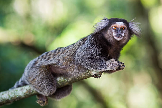 Sagui Monkey in the Wild, Rio de Janeiro, Brazil Sagui monkey in the wild in Rio de Janeiro, Brazil. The black-tufted marmoset (callithrix penicillata) lives primarily in the Neo-tropical gallery forests of the Brazilian Central Plateau. common marmoset stock pictures, royalty-free photos & images