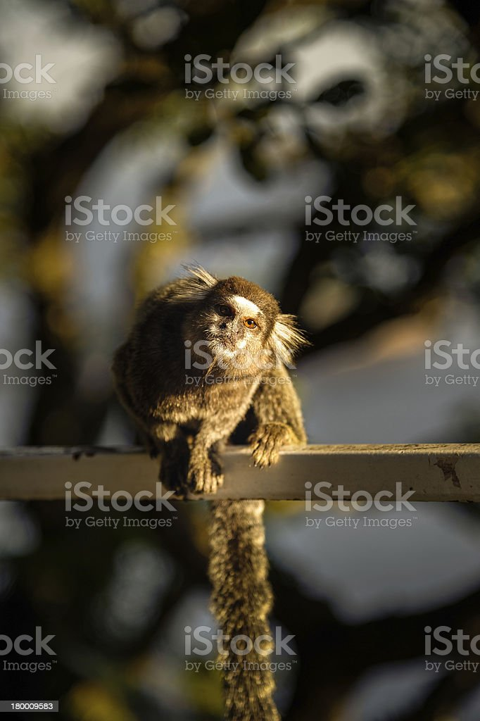 Sagui 원숭이 royalty-free 스톡 사진