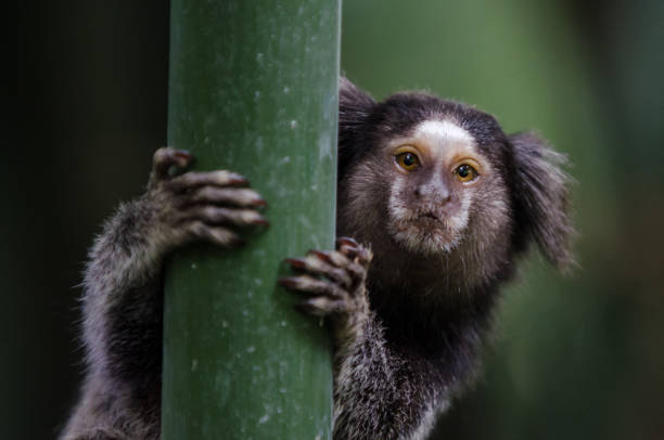 Sagui a small marmoset on a bamboo tree common marmoset stock pictures, royalty-free photos & images