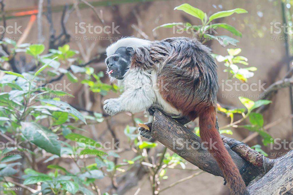 Saguinus Oedipus, Cotton-top tamarin stock photo