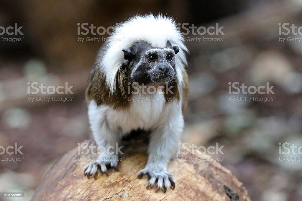 Saguinus oedipus on wooden log stock photo