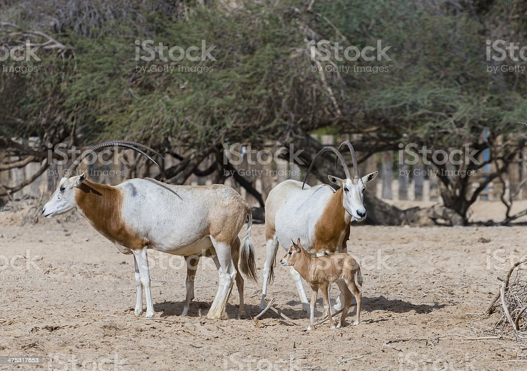 Sahara antelope with baby in nature reserve, Israel stock photo