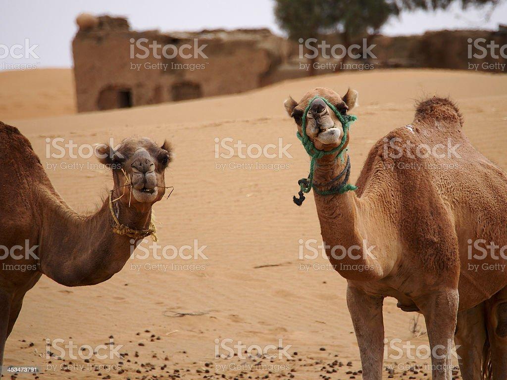 Sahara  camels stock photo