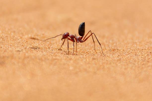 Sahara Desert Ant (Cataglyphis bicolor) running along the sand dunes in Ras al Khaimah, United Arab Emirates. Sahara Desert Ant (Cataglyphis bicolor) running along the sand dunes in Ras al Khaimah, United Arab Emirates. ant stock pictures, royalty-free photos & images