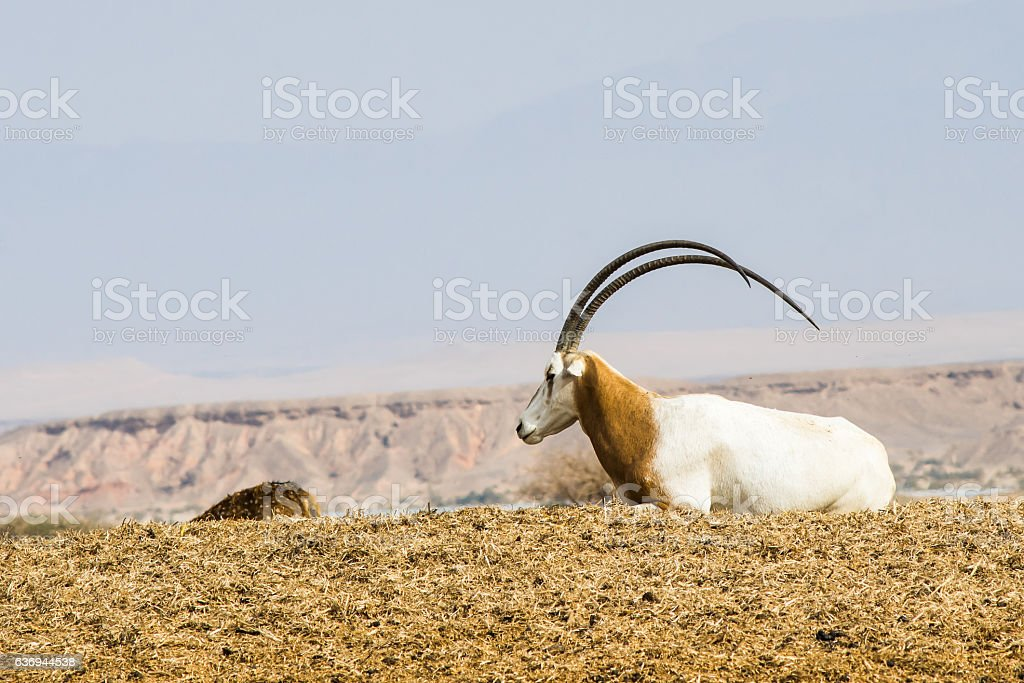 Sahara Oryx stock photo