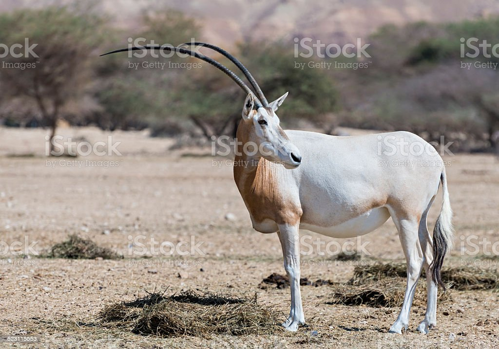 Sahara scimitar Oryx (Oryx leucoryx) stock photo
