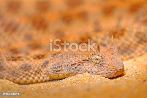Saharan horned desert viper, Cerastes cerastes, in Northern Africa. Supraorbital