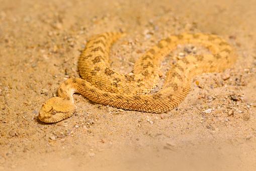 Saharan horned desert viper, Cerastes cerastes, sand, Northern Africa. Supraorbital