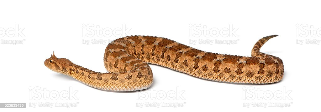 Saharan horned viper - Cerastes cerastes, poisonous, white background stock photo
