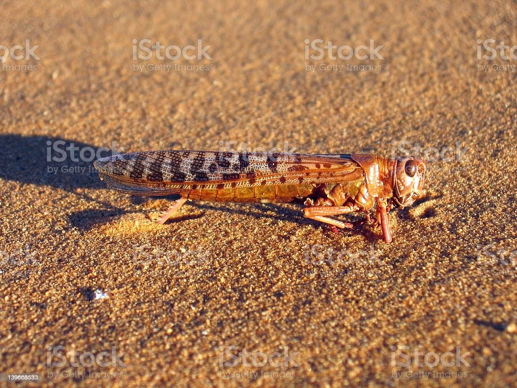 Saharan locusts royalty-free stock photo