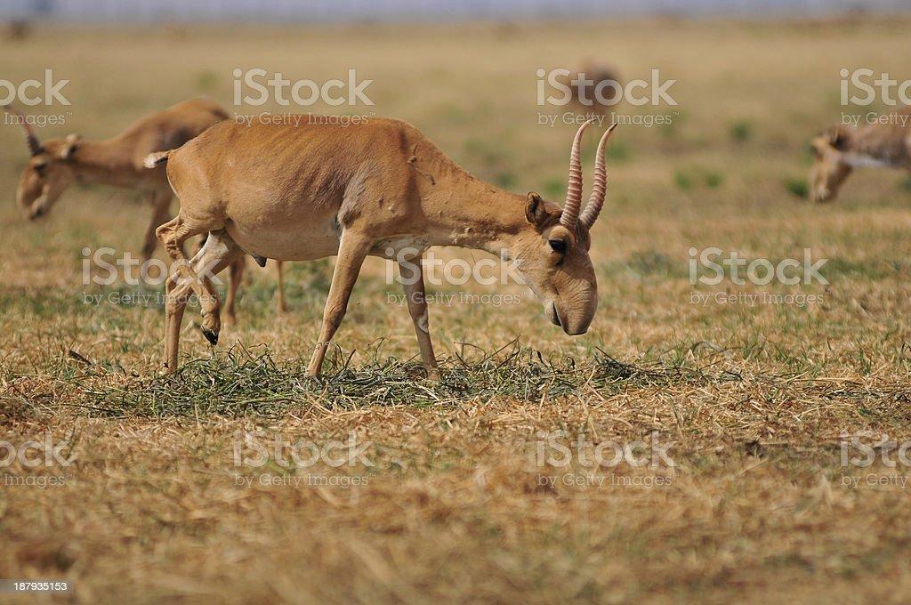 saiga antelope stock photo