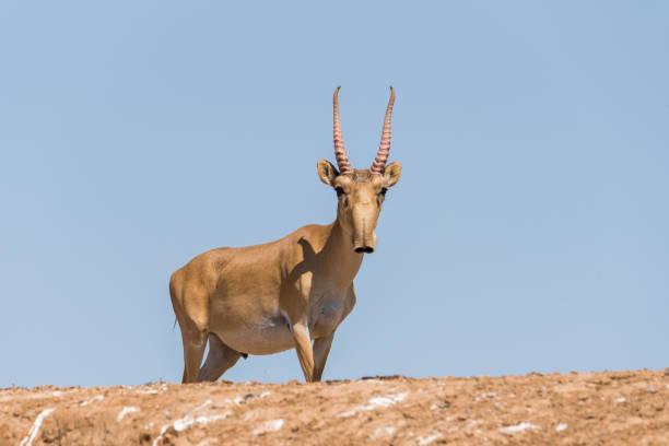 saiga tatarica - antilope stockfoto's en -beelden