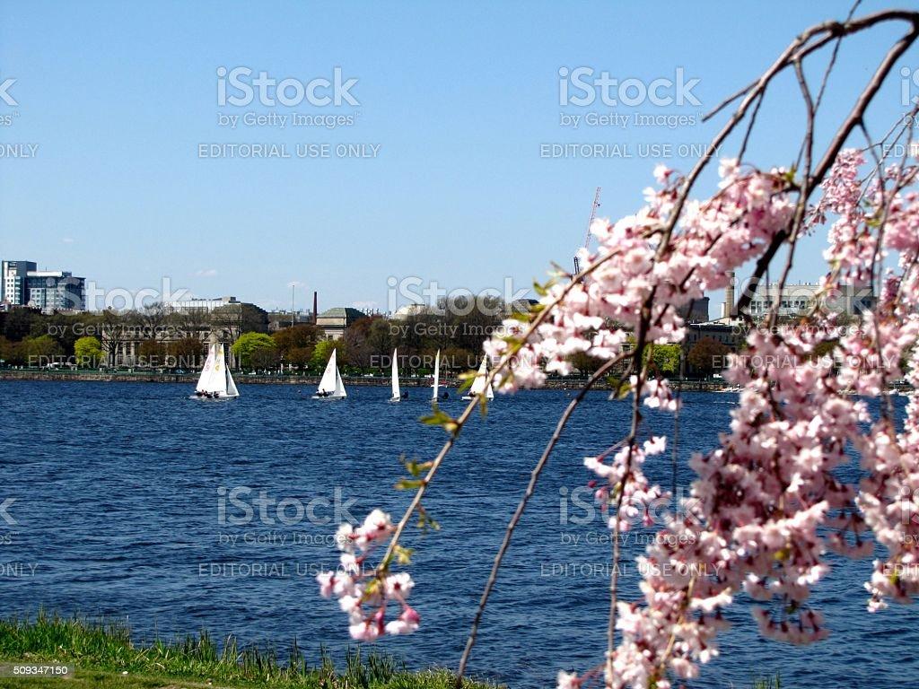 Sailboats, Charles River, Boston, MA, Springtime, Cherry Blossoms stock photo