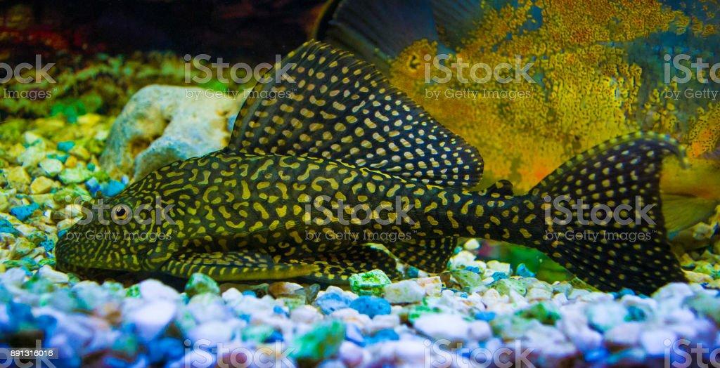 Sailfin Pleco.  Plecostumus fish.  Loricariidae stock photo
