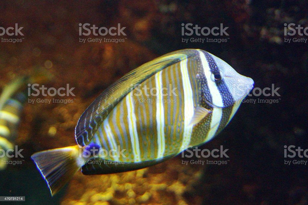 Sailfin tang stock photo