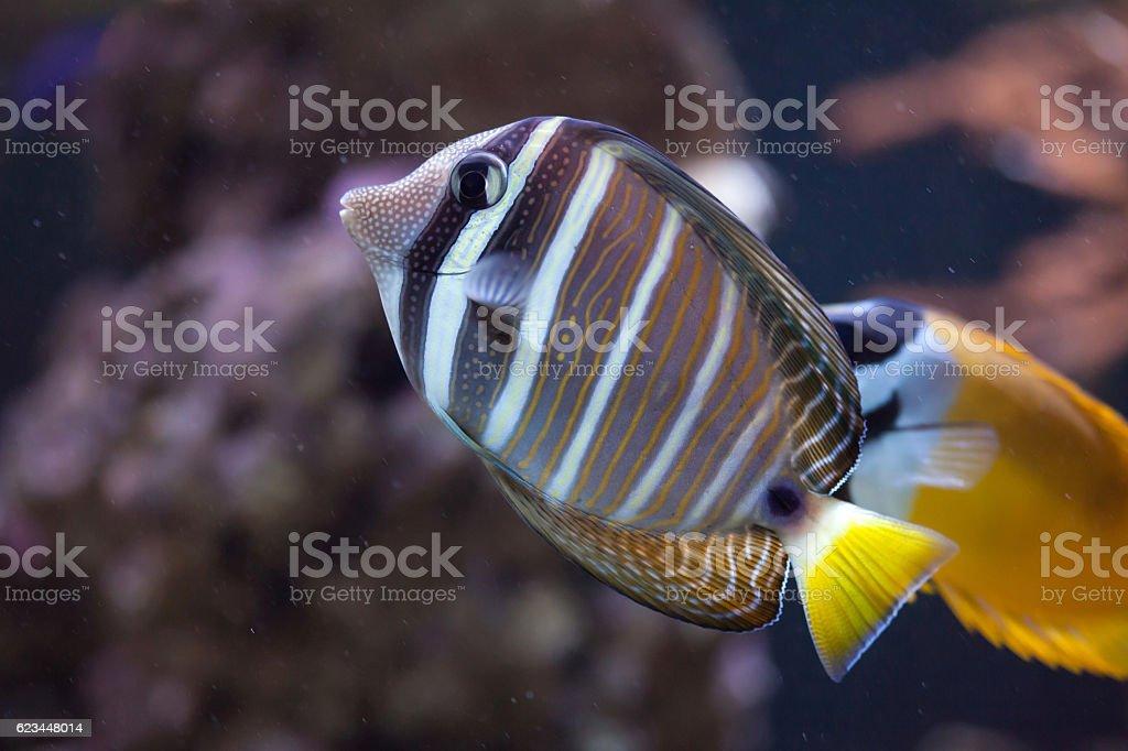Sailfin tang (Zebrasoma veliferum). stock photo