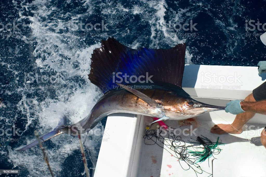 Sailfish coming out of the water stock photo