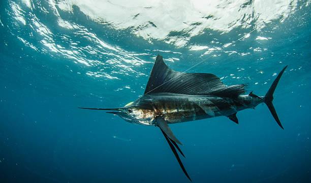 Sailfish fishing stock photo