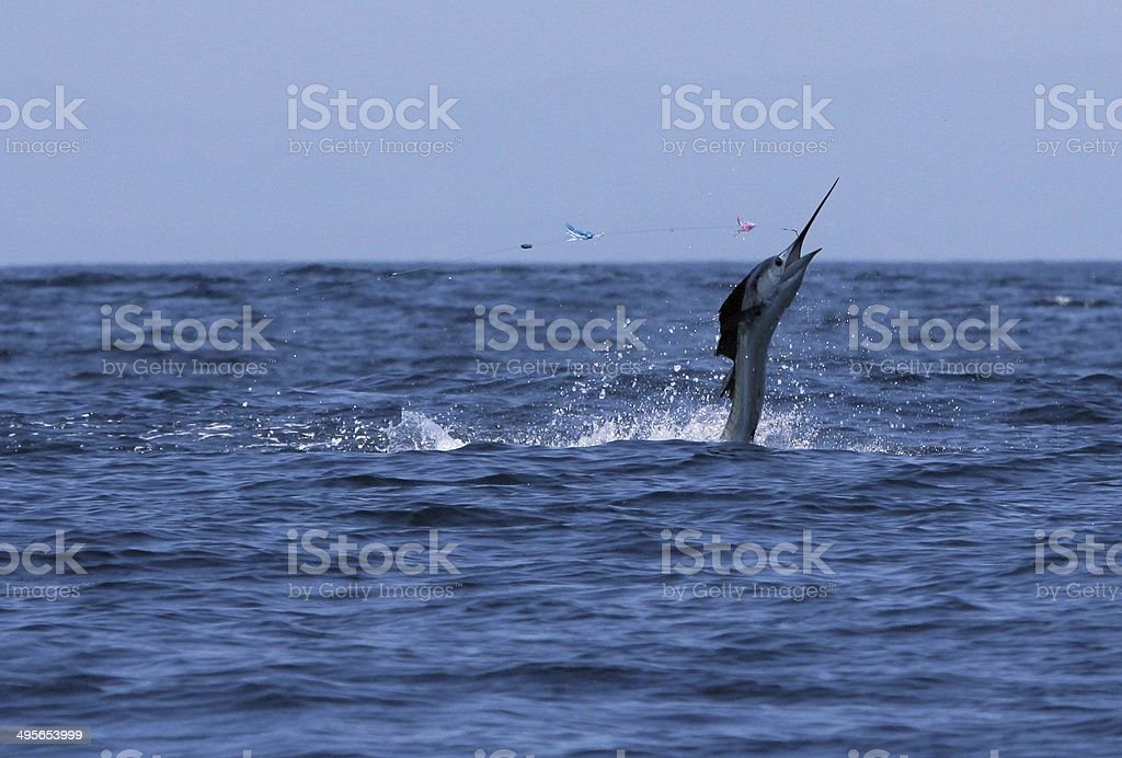 Sailfish jumping off Costa-Rica coast, in Samara area. stock photo
