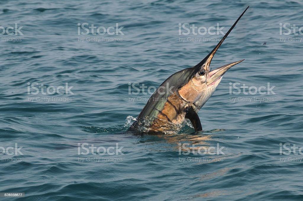 Sailfish jumping off Costa-Rica coast, in Samara area. stock photo