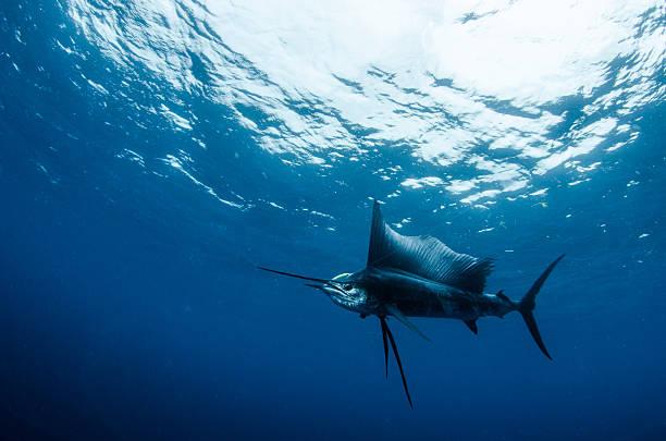 Sailfish on lure stock photo