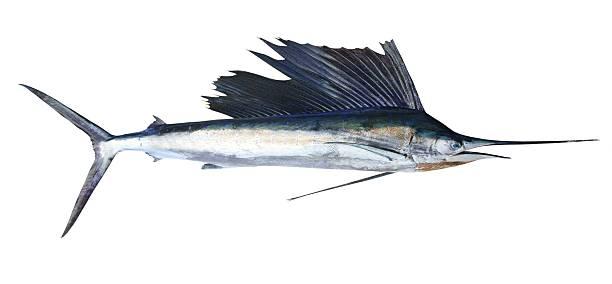 sailfish real fisch, isoliert auf weiss - große waffen stock-fotos und bilder