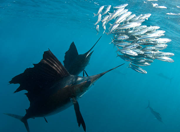 Sailfish with Bait ball Sailfish chase a bait ball. feeding frenzy stock pictures, royalty-free photos & images