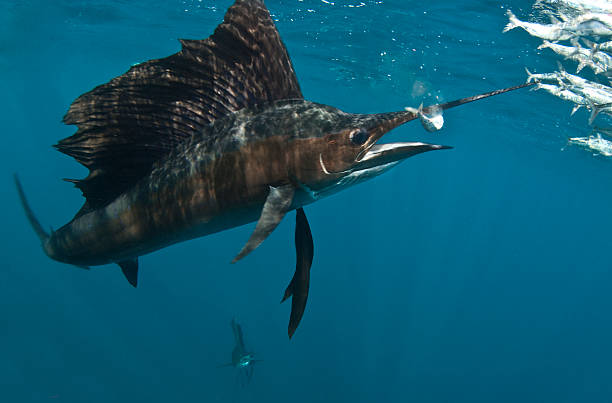Sailfish with bait ball A sailfish (Istiophorus) eats a fish from a fast moving bait ball in the waters off Isla Mujeres, Mexico. feeding frenzy stock pictures, royalty-free photos & images