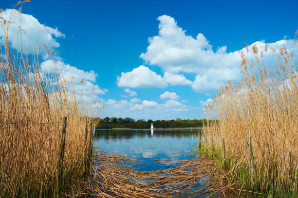 Sailing On Frensham Great Pond In The Surrey Hills On the shores of Frensham Great Pond in the Surrey Hills, in the south of England, and this is the view looking through some reeds of a small sailing dingy. sailing dinghy stock pictures, royalty-free photos & images