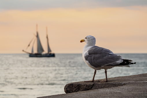 Sailing ship and seagull on the Baltic Sea in Rostock