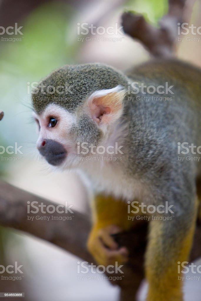 Saimiri sciureus - Saimiri scoiattolo - foto stock