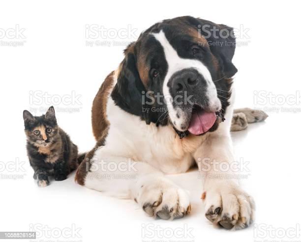 Saint bernard and kitten picture id1058826154?b=1&k=6&m=1058826154&s=612x612&h=au4yteegg2mlxpzhqcjoxx4yxbuqftghsgq2vyf4og4=