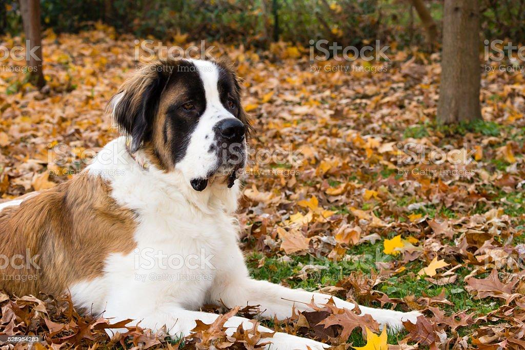 Bernhardiner Hund im Herbst – Foto