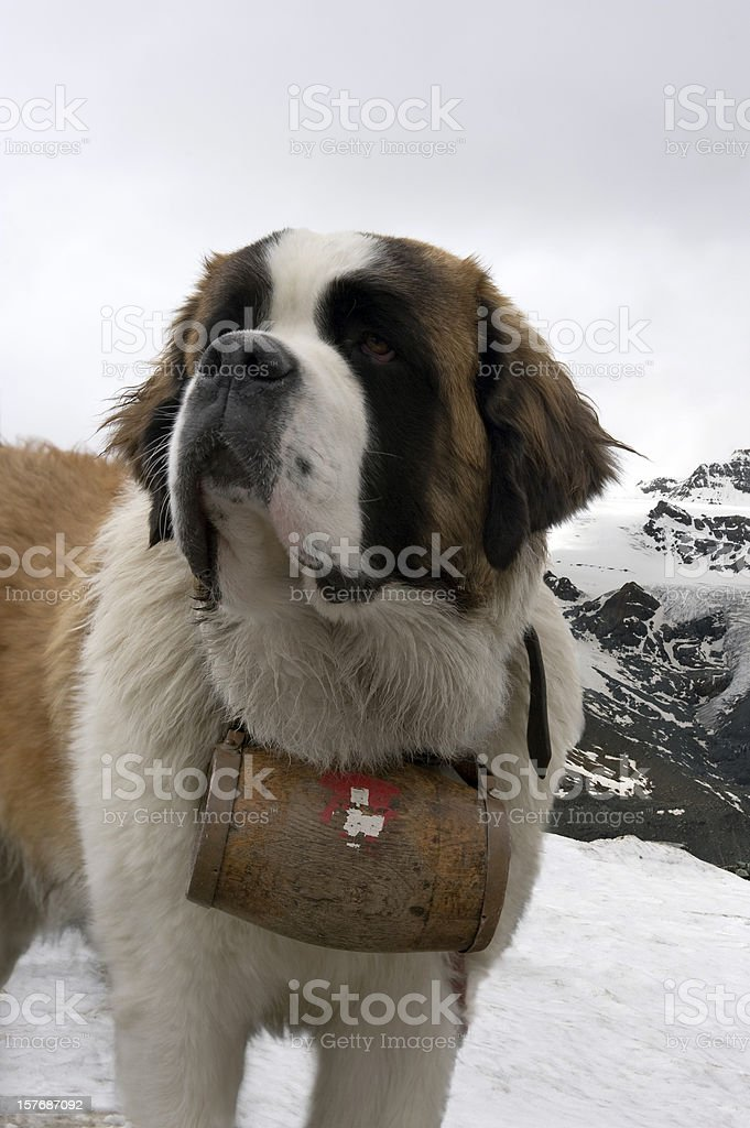 Saint Bernard dog royalty-free stock photo