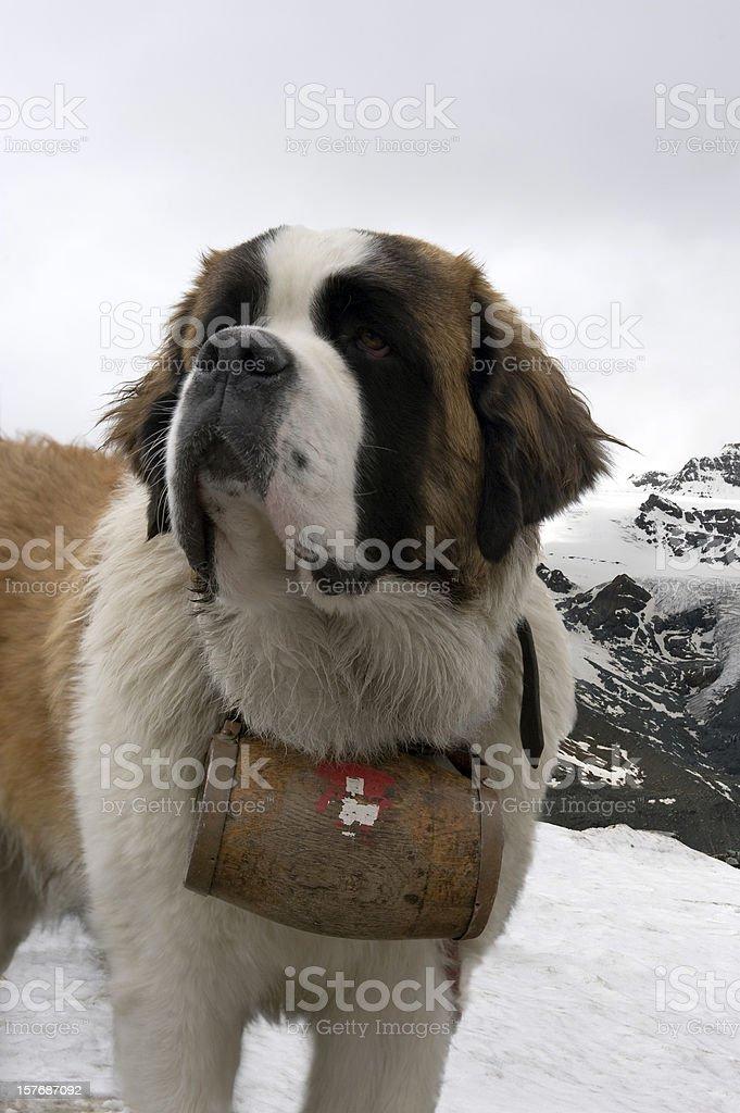 Bernhardiner Hund – Foto