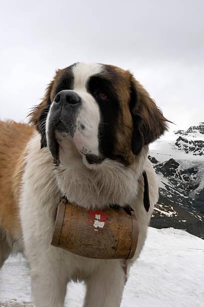 bernhardiner hund - bernhardiner stock-fotos und bilder