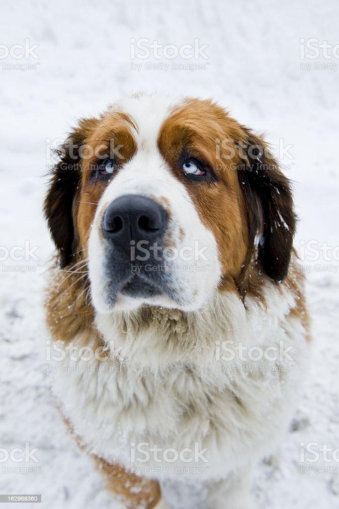 Saint Bernard dog royalty-free stock photo